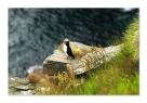 Norway-Puffin - Gheorpghe Popa