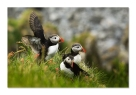 Norway-puffins - Gheorghe Popa