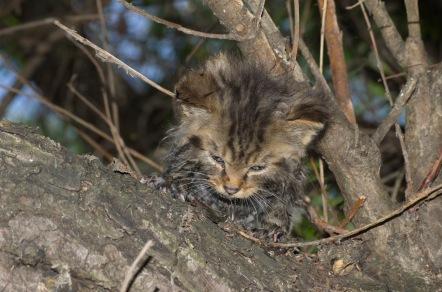 Pui pisică sălbatică