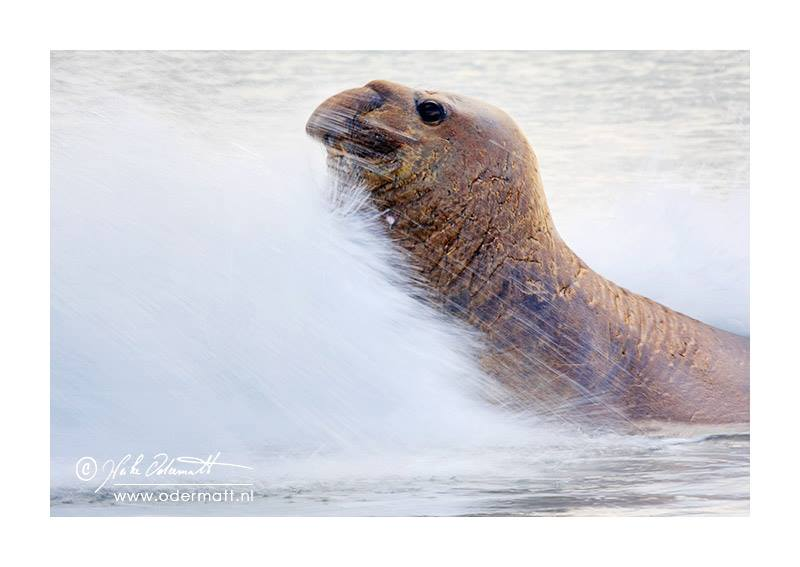 (Elephant Seal on the Falklands)
