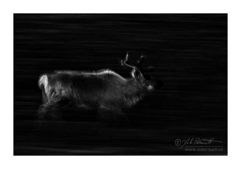 Passerby ... (Reindeer, Svalbard 2011)