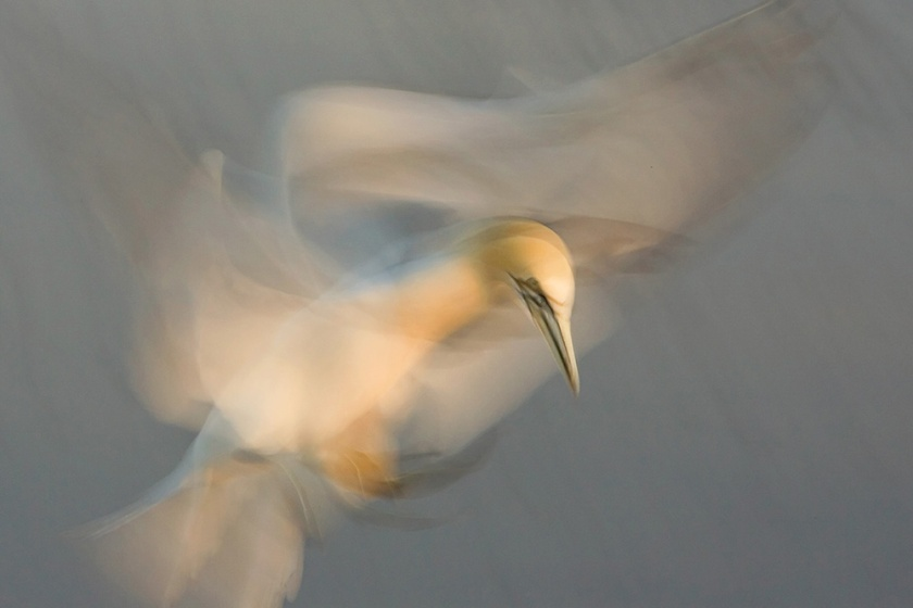Northern Gannet Dance