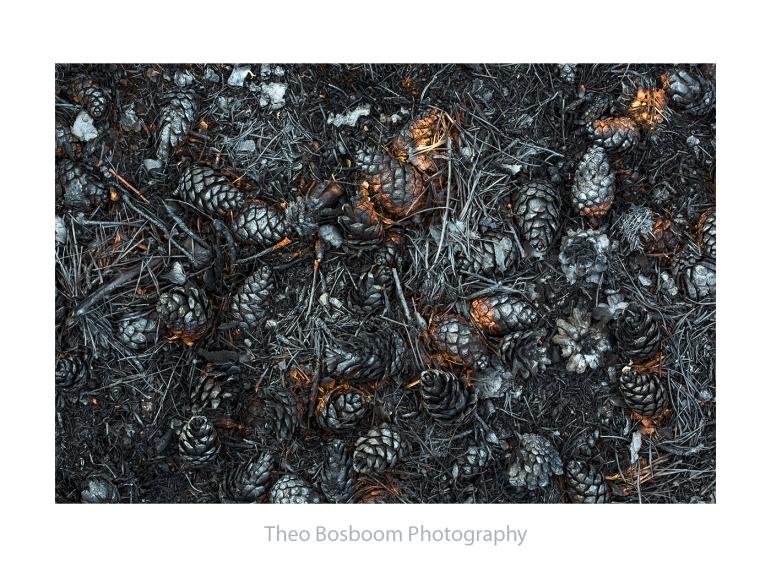 Verbrande denneappels na de brand op de Hoge Veluwe
