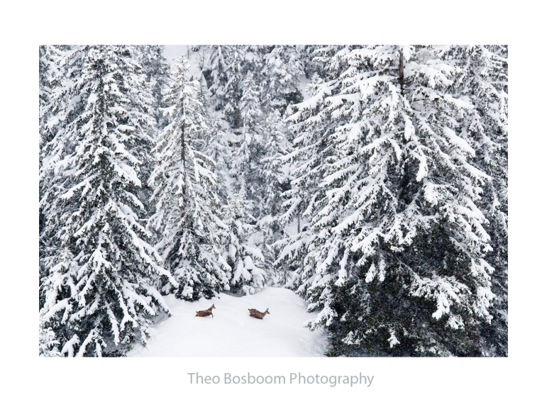 Theo Bosboom Chamois in the snow Switzerland