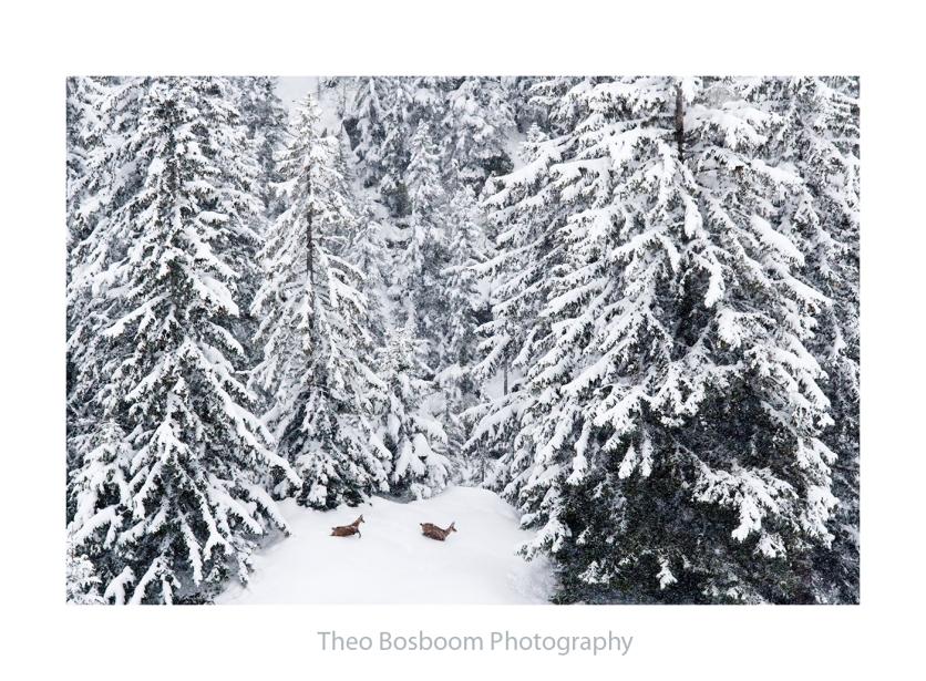 Theo Bosboom Chamois in the snow Switzerland
