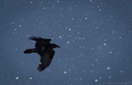 corb iarna