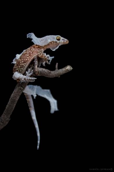 gecko naparlind