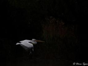 Pelican cret (2)