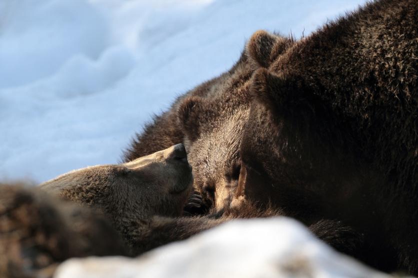 Ursoaica alaptand puiii