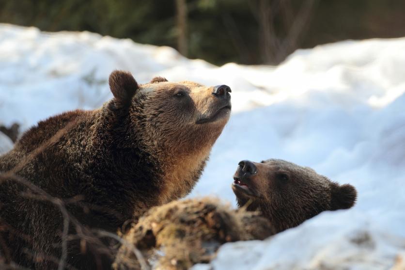 Ursoaica cu puiii
